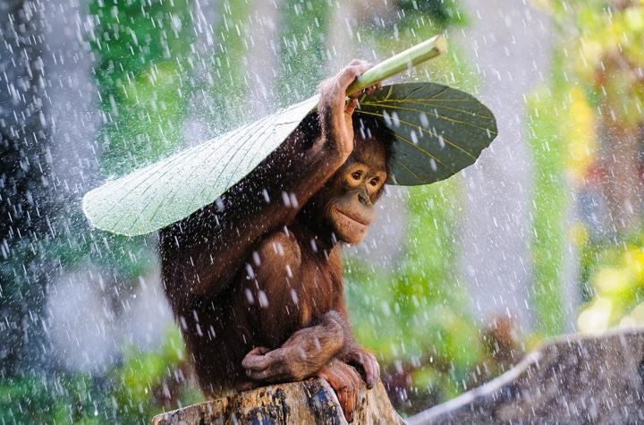 2015-sony-world-photography-awards-orangutan-rain-andrew-suryono