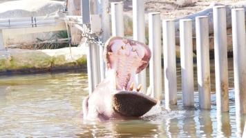 Hippo BCN zoo