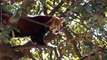Red panda BCN zoo