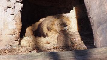 shh, lion bcn zoo
