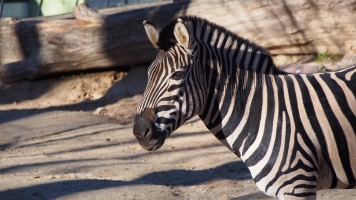 Zebra bcn zoo