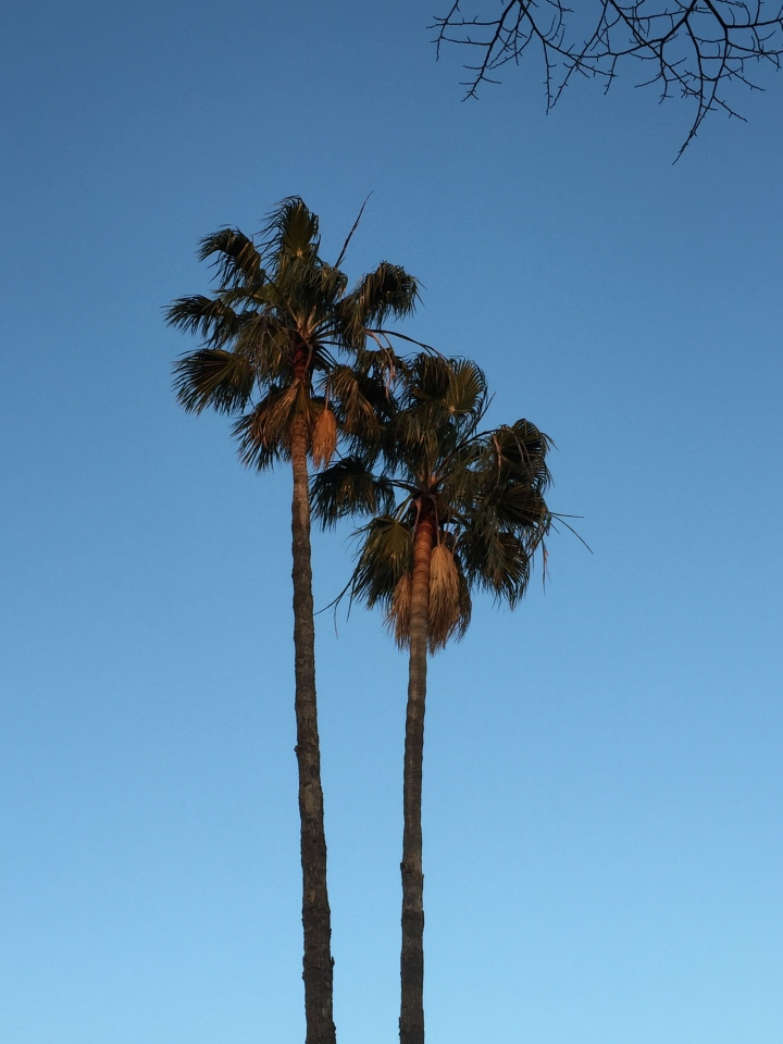 Evening Palm tree
