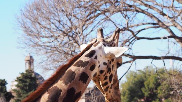 Giraffe Barcelona zoo