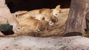 Sleeping Lionesses
