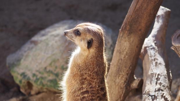 Meerkat Barcelona Zoo