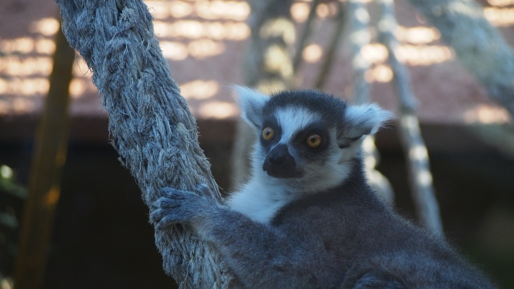 Ring Tailed Lemur, Barcelona Zoo