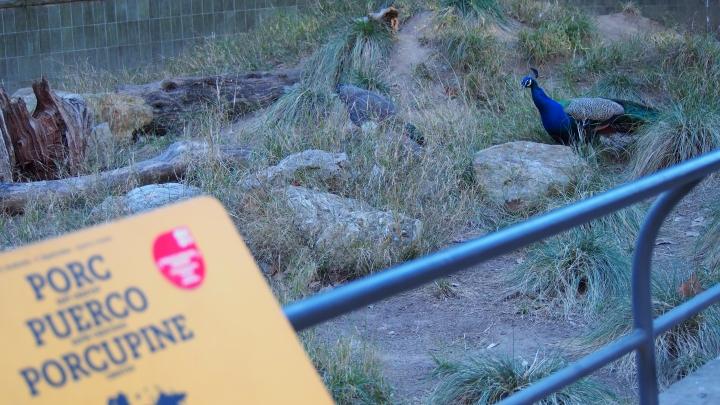 Porcupine Peacock