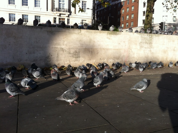 Pigeons. Marble Arch