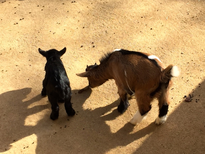First baby goats, Barcelona Zoo 2015