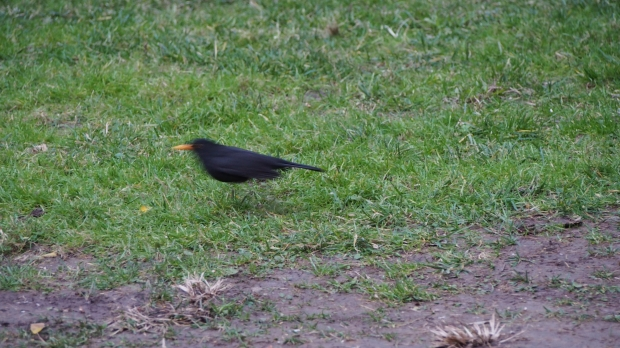 Blackbird Barcelona Zoo