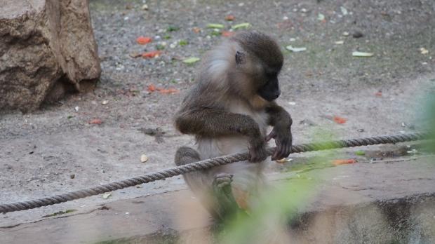 Drill, Barcelona Zoo
