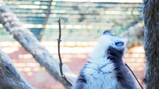 Lemur Barcelona Zoo