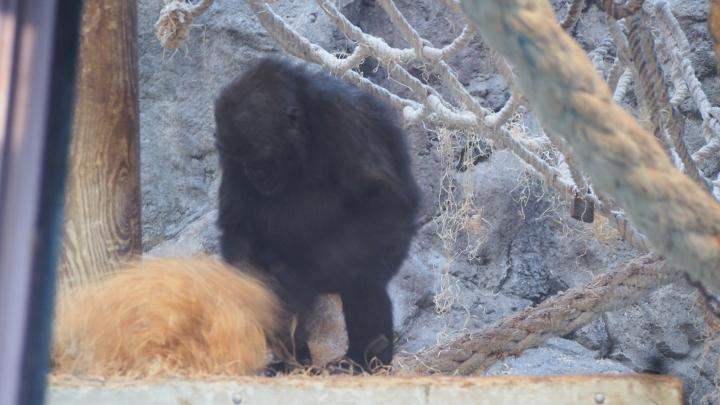 Gorilla nest building