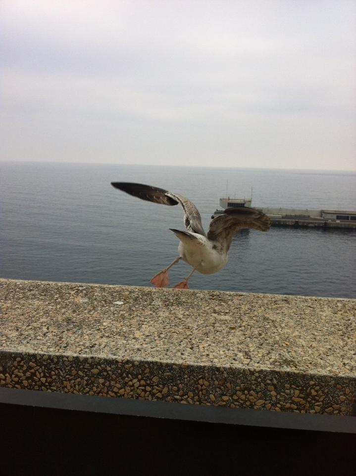 Seagull. Monaco