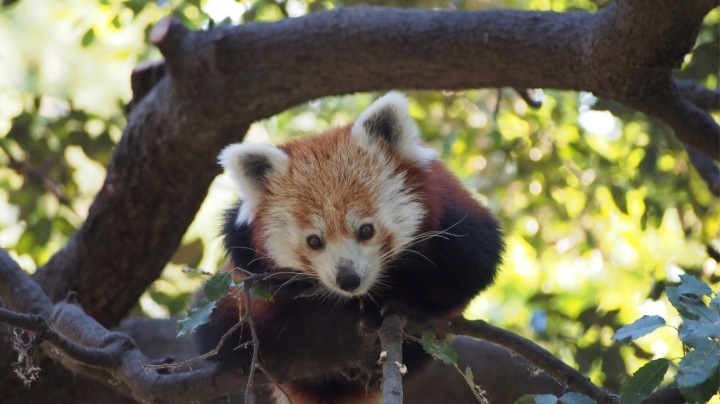 Red Panda, Barcelona Zoo