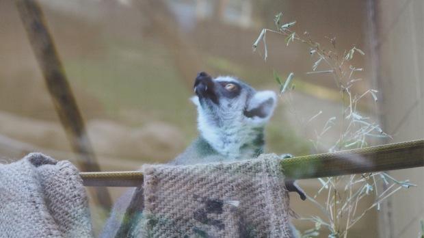 Lemur, Barcelona Zoo