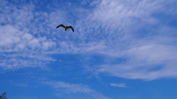 Seagull Blue Skies