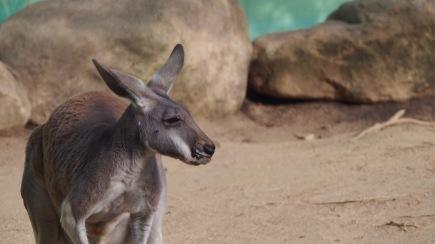 Kangaroo, Barcelona Zoo