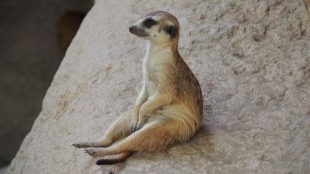 Meerkcat Barcelona Zoo