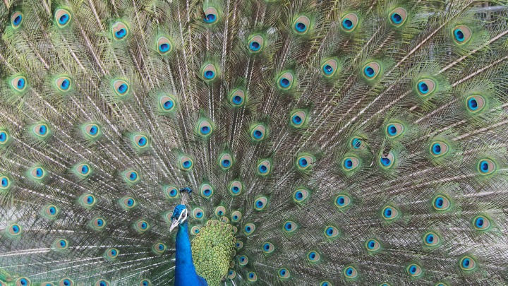 Peacock Barcelona Zoo