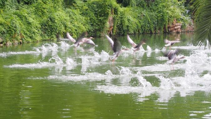 Geese, Parc Ciutadella