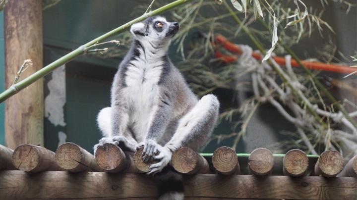 Lemurs, Barcelona Zoo