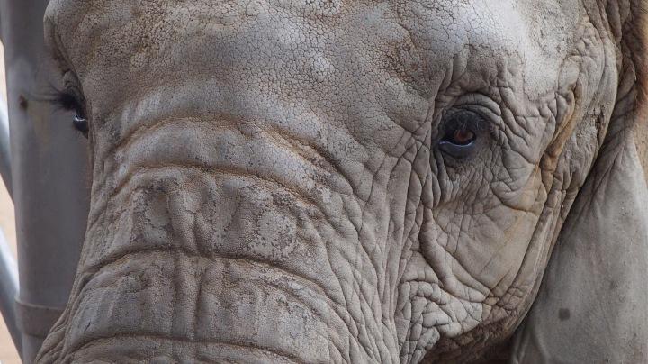 Elephant, Barcelona Zoo