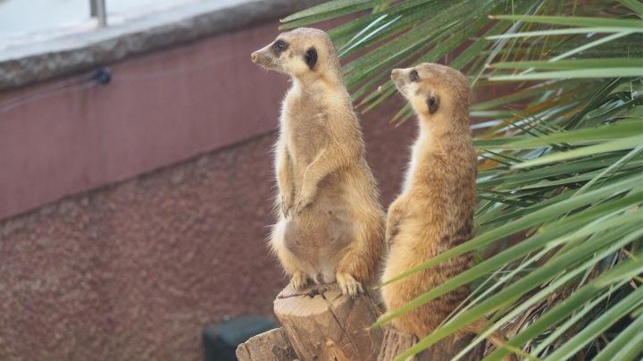 Meerkats, Barcelona zoo