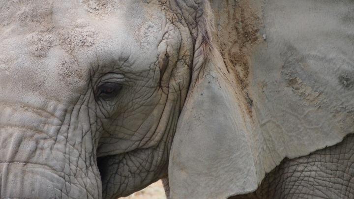 Elephant Barcelona Zoo