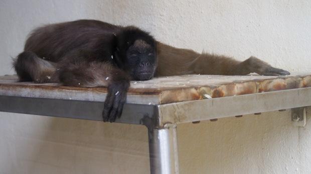 Spider monkey bound angle buddha konasana pose Barcelona Zoo