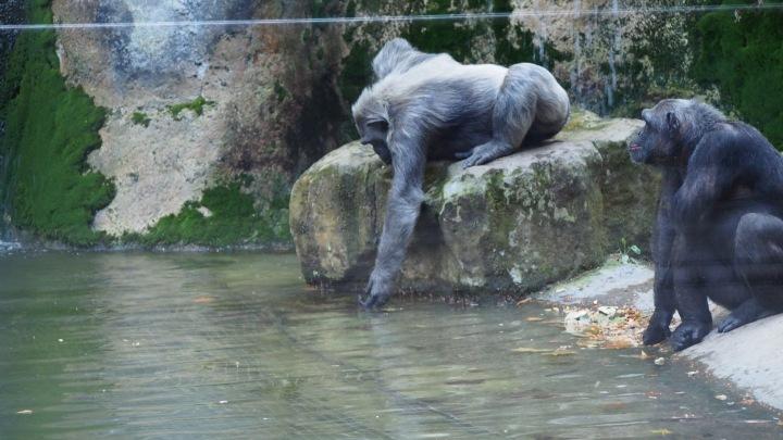 Chimpanzee drinking Barcelona zoo