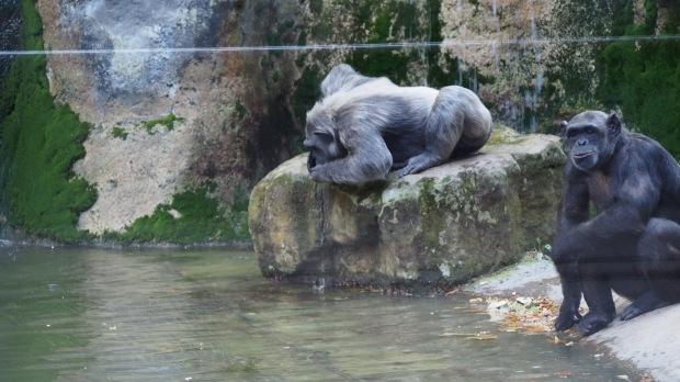 Chimpanzee drinking, Barcelona zoo