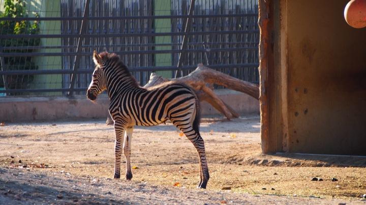 Baby Zebra Barcelona zoo