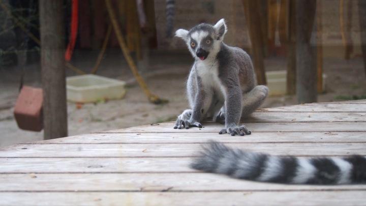 Baby Lemur, Barcelona Zoo