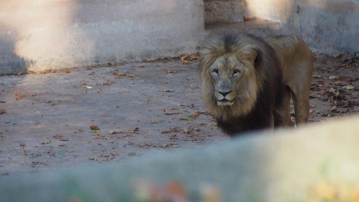 Lion Barcelona Zoo