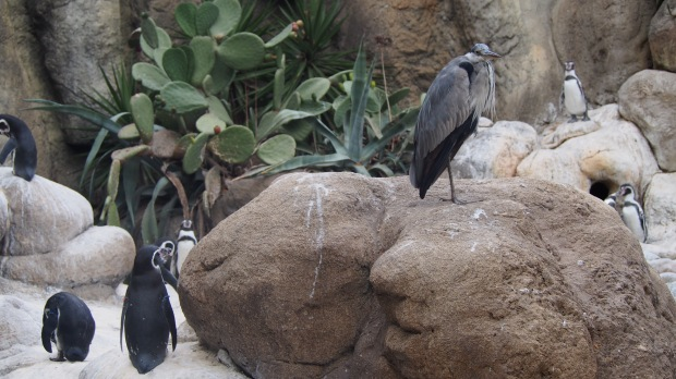 Penguins and a heron