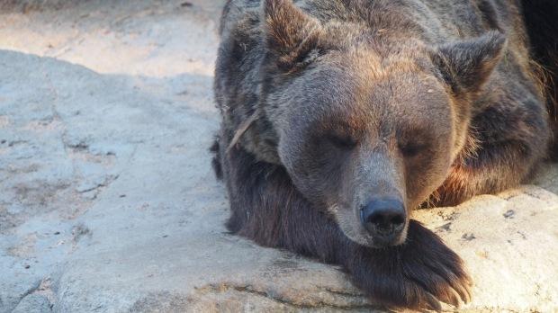 Bear, Barcelona Zoo