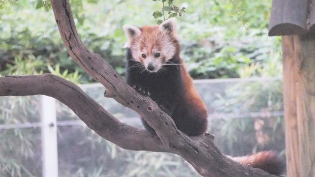 Red Panda, Barcelona Zoo