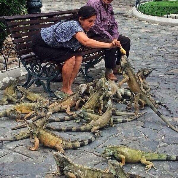 Lady feeding iguanas