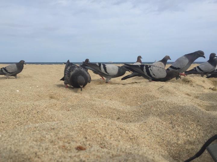 Beach Pigeons