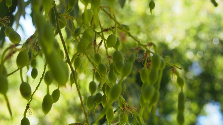 Seed pods, Greece