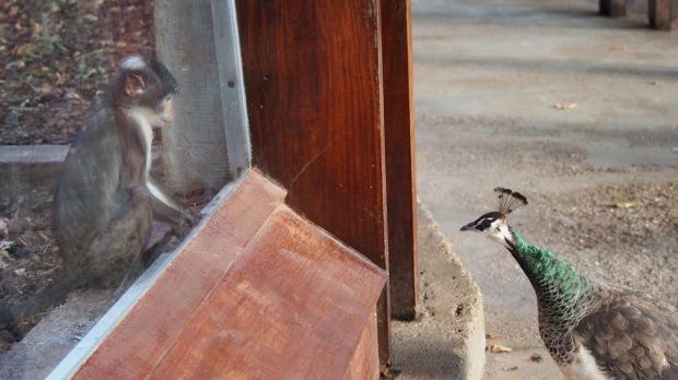 Mangabey Monkey and Peahen, Barcelona Zoo