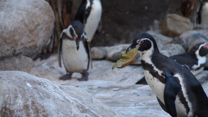 Penguin and leaves