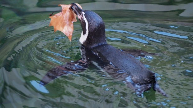 Penguins and leaves