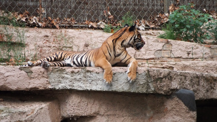 Tiger listening to hungry lion