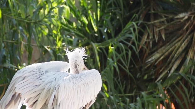 Pelican Barcelona Zoo