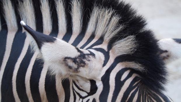 Zebra Barceloan Zoo