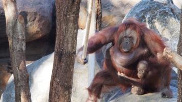 Orangutan Barcelona Zoo