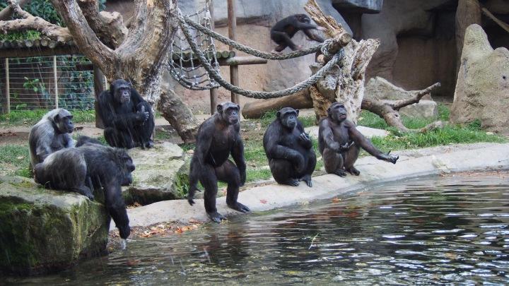 Whaat? Feed us! Chimps Barcelona Zoo
