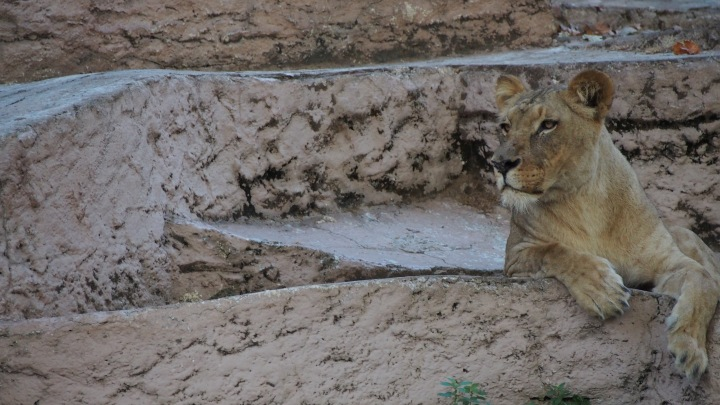 Lioness, Barcelona Zoo
